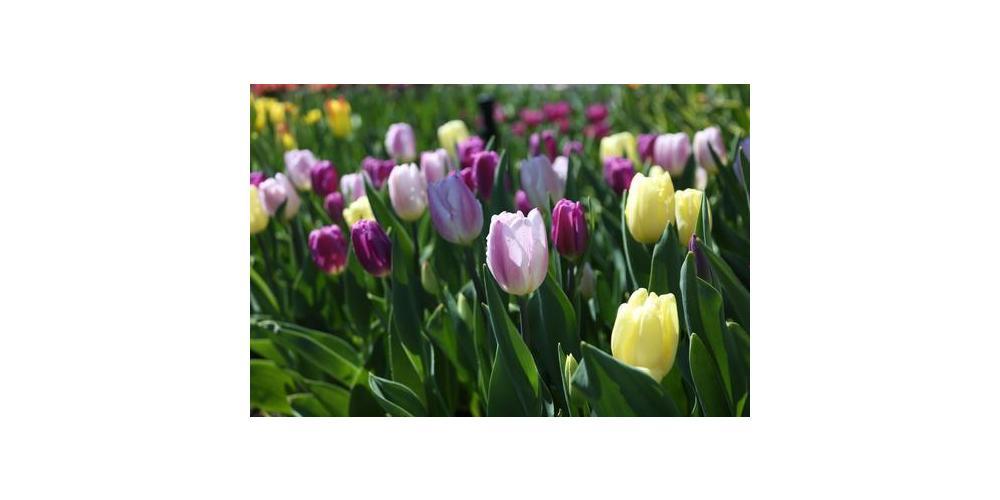 Aeg mõelda kevadele -sibullilled